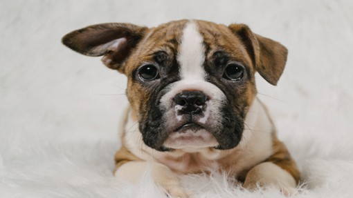 Bulldogs For Sale in Rochester NY | Buy American Bulldog Puppies