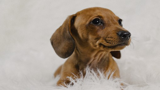 Mini Dachshund For Sale In Rochester Ny Buy Mini Dachshund Puppies