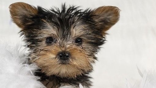 Teacup Yorkie For Sale in Rochester NY | Buy Teacup Yorkie