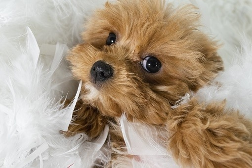 Buy A Puppy | Puppies For Sale in Rochester NY | Pet Store