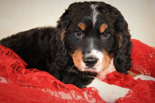 Buy A Puppy Near Me | Puppies For Sale in Rochester NY | Pet