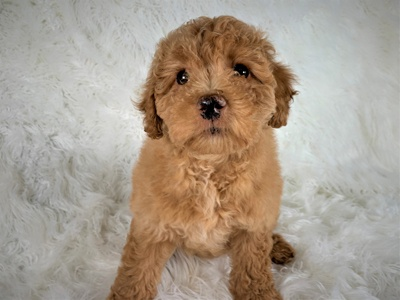 Buy A Puppy Near Me Puppies For Sale In Rochester Ny Pet