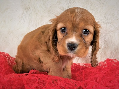 Buy A Puppy Near Me | Puppies For Sale in Greece